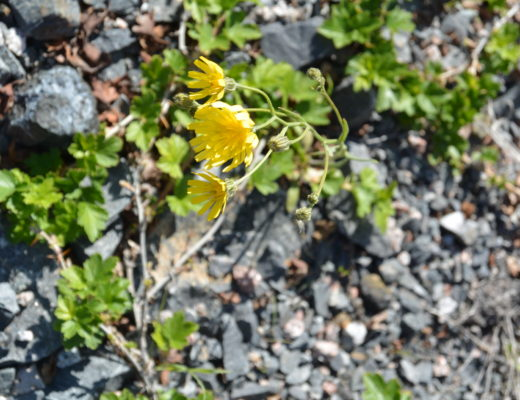 Blooming in adversity - or rather, in the middle of the lots of rock we have here in the NWT.
