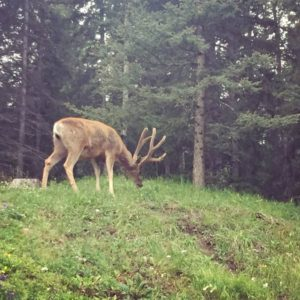 elk, Banff, creative pathway